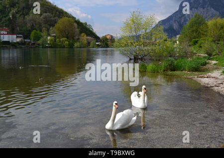 Beautiful panoramic view to two white swans swimming on river Adda flowing from the lake Como at Lecco and a distant centre in a sunny spring day. - Stock Photo