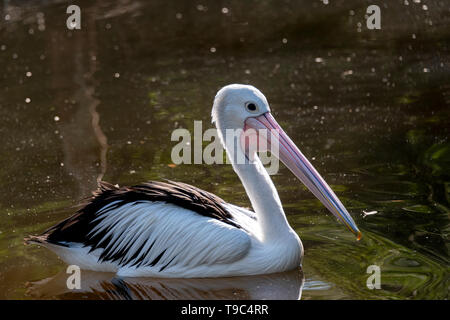 Pelican on the water with soft rim lighting, Healesville, Australia. - Stock Photo
