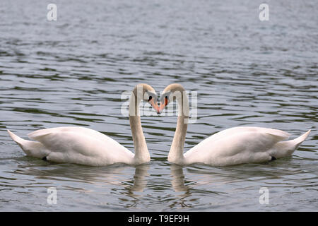 Heart shape love symbol from neck of two white swans. Symmetry, true love, beauty in nature - Stock Photo