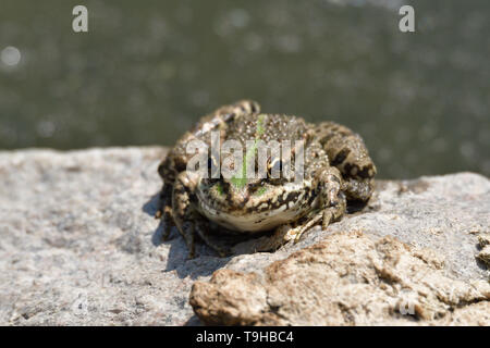 frog sitting on a stone by a pond in the sun - Stock Photo