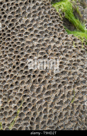 Unusual looking tube-like homes of the Honeycomb worm / Sabellaria alveolata which grows on rocky coastal rocks in the tidal range. - Stock Photo