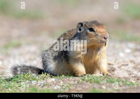 A Columbian Ground Squirrel (Urocitellus columbianus) looks for food near his home in the grass. - Stock Photo