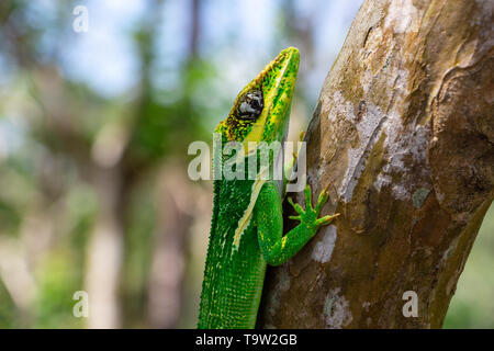 Knight anole (Anolis equestris) clinging to a tree branch - Delray Beach, Florida, USA - Stock Photo