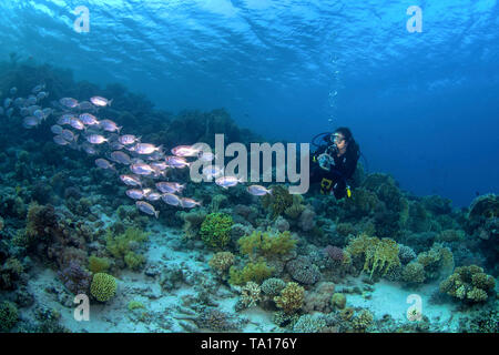 Female scuba diver photographs school of big-eyed soldierfish on a coral reef in the Northern Red Sea off the coast of Egypt. - Stock Photo