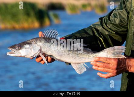 Zander (Sander lucioperca) from Lake Balaton, Hungary - Stock Photo