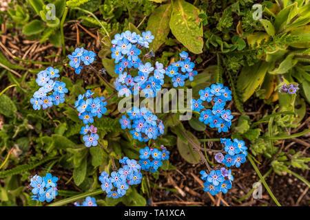 Myosotis alpestris ( Alpine Forget me not ) spring mountain flower - Stock Photo