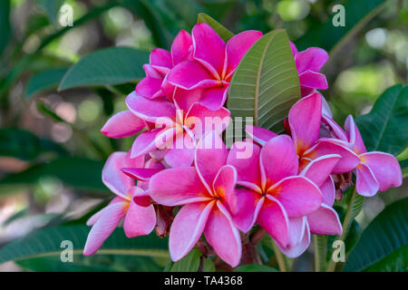 Beautiful Pink Plumeria. Plumeria Tree in Bloom. Iconic Tropical Flower - Stock Photo