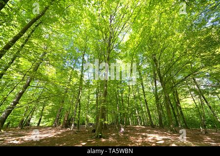 Schleswig, Deutschland. 11th May, 2019. 11.05.2019, the forest in the enclosure 'Tiergarten' in Schleswig is a Wirtschaftsforst with deciduous trees. Symbolic picture for the german forest. | usage worldwide Credit: dpa/Alamy Live News - Stock Photo
