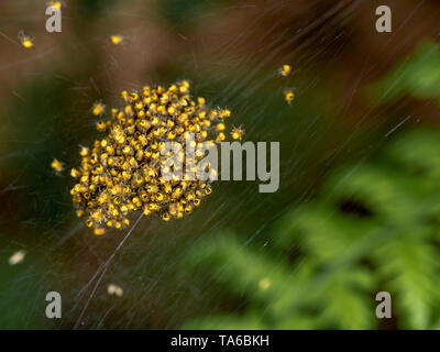 Baby orb weaver spiders, spiderlings, in nest, Yellow and black, macro. - Stock Photo