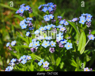 Blue Myosotis alpestris or alpine forget me not is a herbaceous shrubby perennial plant in the flowering plant family Boraginaceae. Myosotis arvensis. - Stock Photo