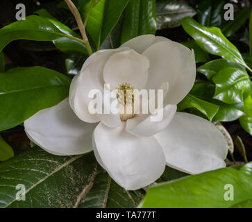 Gorgeous blooming giant white magnolia flower at a botanical garden in Durham, North Carolina - Stock Photo