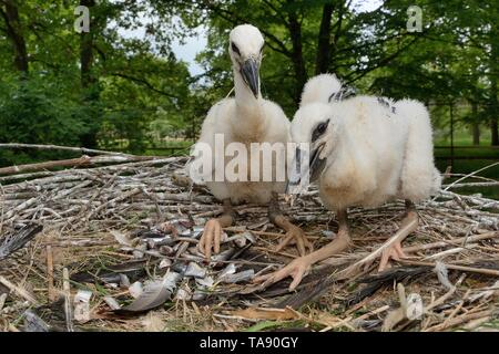 White stork (Ciconia ciconia) chicks in a captive breeding colony supplying UK White Stork reintroductions, Cotswold Wildlife Park. - Stock Photo