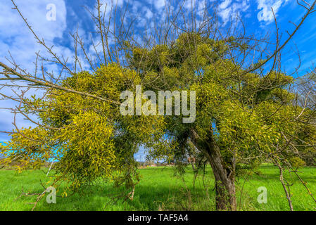 Old apple tree covered with mistletoe (Viscum album), Region of Artemare, Bugey, Ain, France - Stock Photo