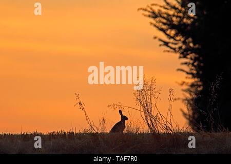 European hare (Lepus europaeus) at sunset, Normandy, France - Stock Photo