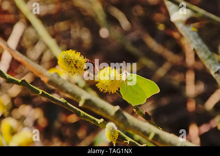 Yellow common brimstone butterfly sitting on a willow catkin, selective focus - Gonepteryx rhamni - Stock Photo