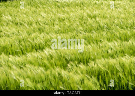 Barley field in the wind Suffolk UK - Stock Photo