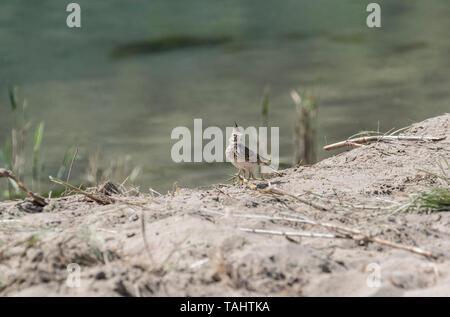 Crested Lark (Galerida cristata) on a sandy beach - Stock Photo