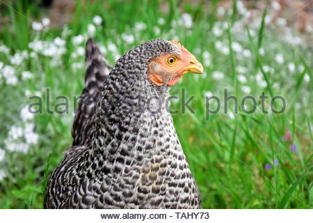 Speckled Hen Gallus Domestica Closeup - Stock Photo