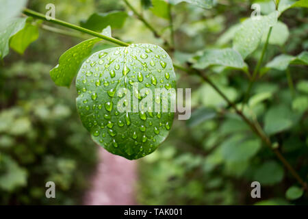 Water drops on the surface of a leaf. The rain drops stuck to the leaf follow the veins within the leaf. Bokeh background with plenty of copy space. - Stock Photo