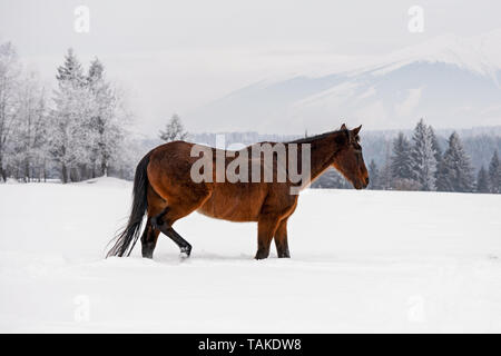 Dark brown horse walks on snow covered field in winter, blurred trees and mountains in background, view from side - Stock Photo