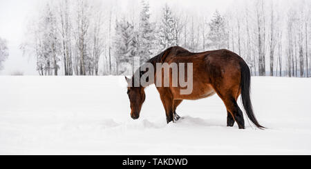 Dark brown horse walks on snow covered field in winter, blurred trees in background, view from side back - Stock Photo