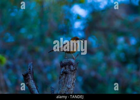 Rufous cheeked scimitar babbler, Pomatorhinus erythrogenys, Sattal, Uttarakhand, India. - Stock Photo