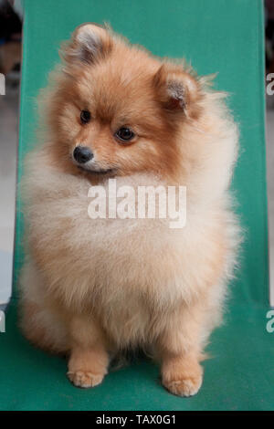 Cute pomeranian puppy is sitting on a collapsible chair. Pet animals. Purebred dog. - Stock Photo