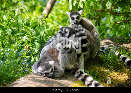 Group of male Ring-tailed Lemures (Lemur catta) huddled together on log in lemur walk through enclosure at Edinburgh Zoo, Scotland, UK - Stock Photo