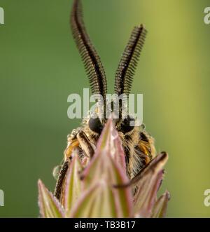 Spiris striata. Arctiinae Male moth posing on green leaf with big wet antennae - Stock Photo