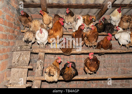 Chickens in the chicken coop, household. Life in the village - Stock Photo