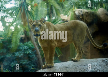 Lioness looking directly at camera from a rock - Stock Photo