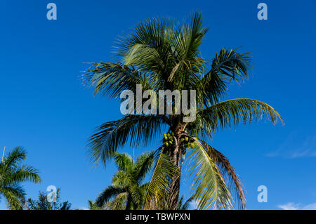 Coconut Palm tree inside the South Seas Island Resort. Captiva Island, Florida - Stock Photo