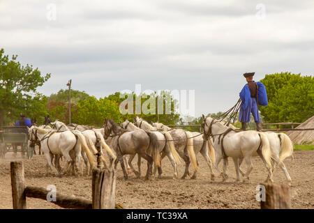 Kalocsa, Puszta, Hungary - May 23, 2019 : Hungarian Csikos equestrian rider performing ten-in-hand, or koch-ten, stunt in corral. - Stock Photo
