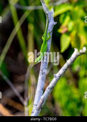 Green Anole (Anolis carolinensis) Florida lzard. - Stock Photo