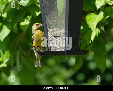 European Greenfinch Carduelis chloris Stockholm Sweden. - Stock Photo