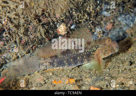 Beautiful Goby (Exyrias bellismus), Banda Neira Jetty dive site, Ambon, Maluku (Moluccas), Indonesia. - Stock Photo