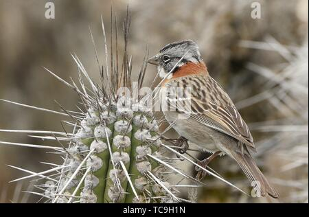 Andean sparrow (rufous-collared sparrow) on Isla Damas, Humboldt Penguin Reserve, Punta Choros, Chile. - Stock Photo