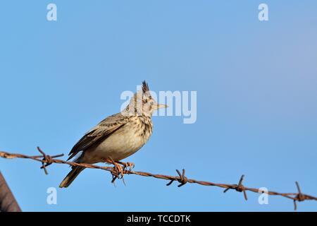 Crested Lark (Galerida cristata), Crete. - Stock Photo