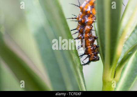 Closeup shot of orange prickly caterpillar crawling on green plant stem - Stock Photo