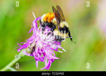 Tricolored bumble bee on wildflower in Crex Meadows Wildlife Area in Wisconsin - Stock Photo