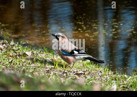 Eurasian Jay standing near a river - Stock Photo