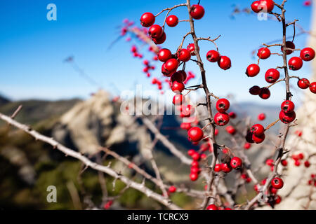 Red wild berries. Dolomites of Basilicata mountains called Dolomiti Lucane. Basilicata region, Italy - Stock Photo
