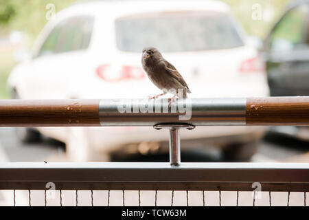 little Sparrow sitting on a metal fence. - Stock Photo
