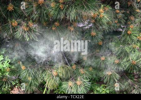 Fir tree brunch close up. Shallow focus. Fluffy fir tree brunch close up. Smoke. Copy space. - Stock Photo