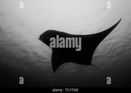 Oceanic manta ray flying around a cleaning station in cristal blue water - Stock Photo