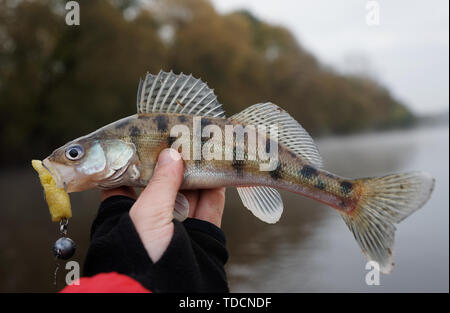 Volga zander, a pike-perch variety, in fisherman's hand - Stock Photo