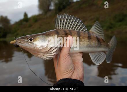 Walleye caught on handmade jig lure, close-up - Stock Photo