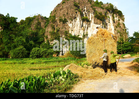 Tam Coc, Vietnam - June 8, 2019: Vietnamese farmers harvest Rice in Tam Coc - Stock Photo