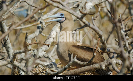 a red-footed booby and chick on a nest at isla genovesa in the galapagos islands, ecuador - Stock Photo