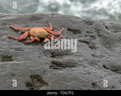 sally lightfoot crab on a rocky shore at isla espanola in the galpapgos islands - Stock Photo